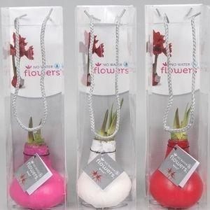 Hippeastrum COLIBRI MIX (Vreugdenhil Bulbs & Plants)