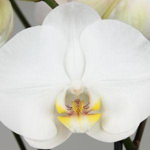 Phalaenopsis 'Ikaria' (Leerdam Orchideeën)