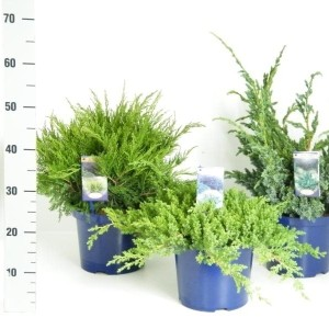 Juniperus MIX (Vredebest, Kwekerij )