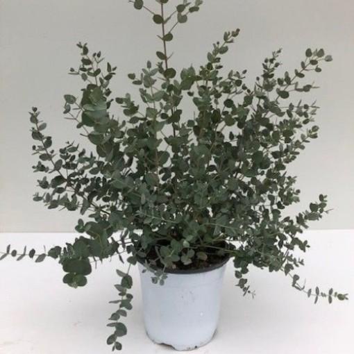 Eucalyptus gunnii (Green Collect Sales)