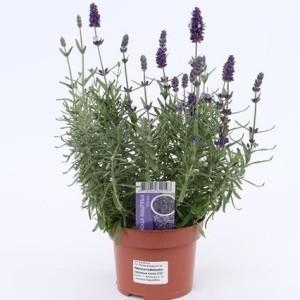 Lavandula angustifolia 'Hidcote' (Gebr. Grootscholten)