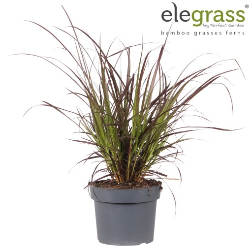 Pennisetum advena 'Summer Samba' (Hoogeveen Plants)