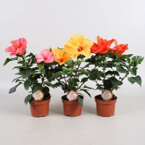 Hibiscus rosa-sinensis HAPPY DAYS MIX (Vireõ Plant Sales)