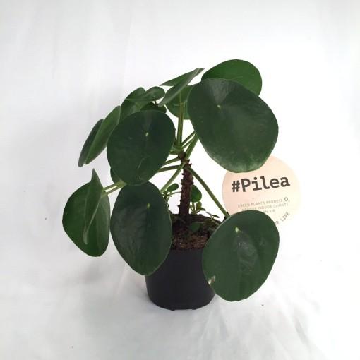 Pilea peperomioides (Gasa DK)