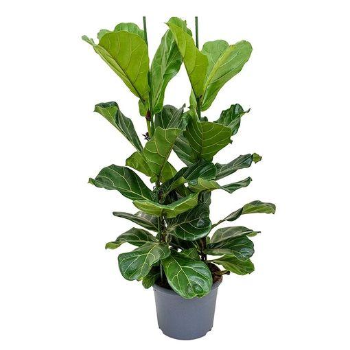 Ficus lyrata (Nieuwkoop Europe B.V.)