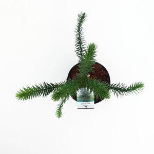 Araucaria araucana (Bremmer Boomkwekerijen)