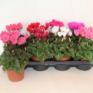 Cyclamen persicum SUPER SERIE CARINO MIX