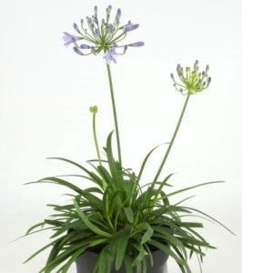 Agapanthus africanus (Experts in Green)