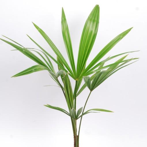 Trachycarpus fortunei (Van der Arend Tropical Plantcenter)