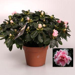 Rhododendron 'Inga'