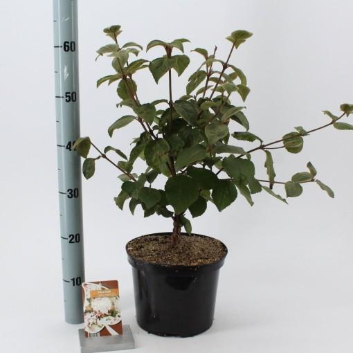 Viburnum carlesii 'Aurora' (About Plants Zundert BV)