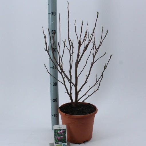 Magnolia 'Susan' (About Plants Zundert BV)