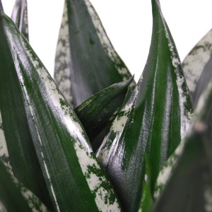 Sansevieria trifasciata 'Silver Flame' (Van der Arend Tropical Plantcenter)