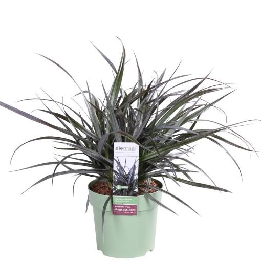 Astelia RED SHADOW (Hoogeveen Plants)