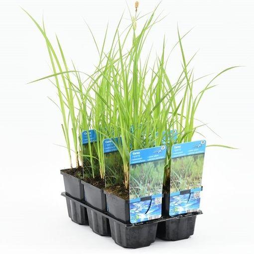 Carex riparia (Moerings Waterplanten)
