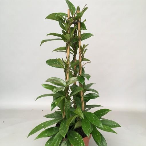 Hoya pubicalyx (van der Velden, Hkw. )