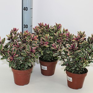 Hebe 'Tricolor' (Experts in Green)