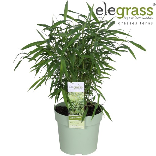 Fargesia murielae 'Luca' (Hoogeveen Plants)