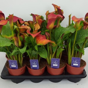 Zantedeschia 'Red Alert' (BB Plant)