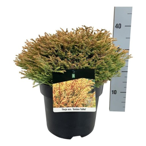 Thuja occidentalis 'Golden Tuffet' (Boomkamp Boomkwekerijen B.V.)