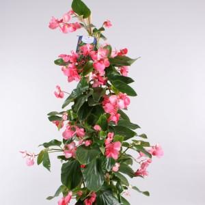 Begonia 'Dragon Wing Pink'