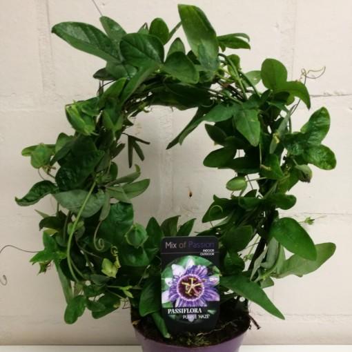 Passiflora 'Purple Haze' (Plantcare BVBA)