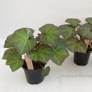 Begonia 'Boomer'