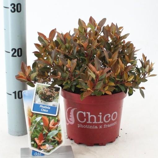 Photinia x fraseri CHICO (About Plants Zundert BV)