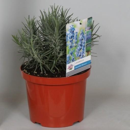 Lavandula angustifolia 'Munstead' (De Jong Plant BV)