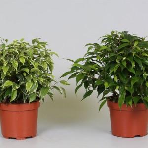 Ficus benjamina MIX (Groot BV, Kwekerij J. de )