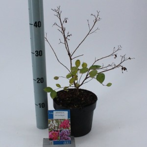 Lagerstroemia indica WITH LOVE ETERNAL (About Plants Zundert BV)