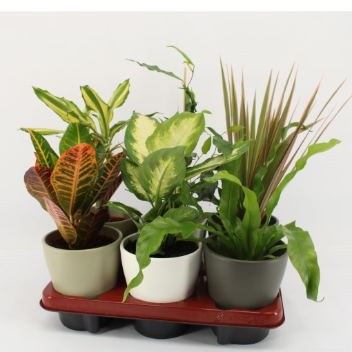 Foliage plants MIX (Mixt Creations BV)
