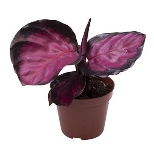 Calathea roseopicta 'Rosy' (Gasa DK)