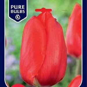 Tulipa 'Apeldoorn'