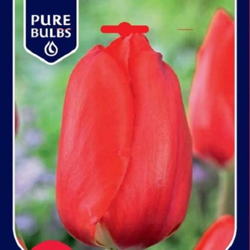 Tulipa 'Apeldoorn' (Bosrand, Kwekerij de)