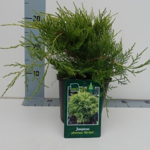 Juniperus x pfitzeriana 'Old Gold'