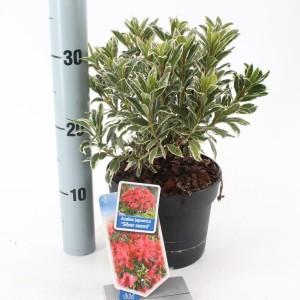 Rhododendron 'Silver Sword'