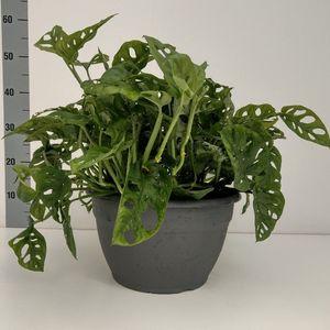 Monstera obliqua (Experts in Green)