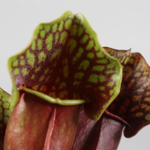 Sarracenia purpurea (Stricker Plants)