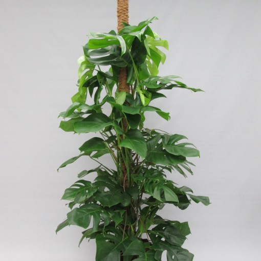 Monstera deliciosa (JM plants)