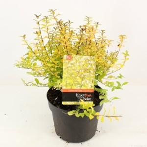 Ligustrum ovalifolium 'Lemon and Lime'