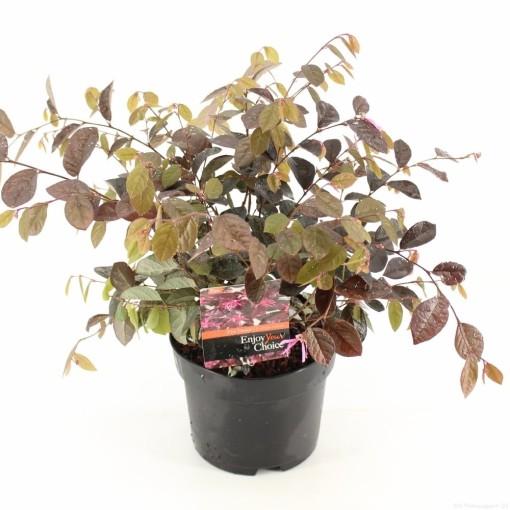 Loropetalum chinense 'Fire Dance' (Snepvangers Tuinplanten BV)