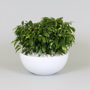Arrangements Ficus