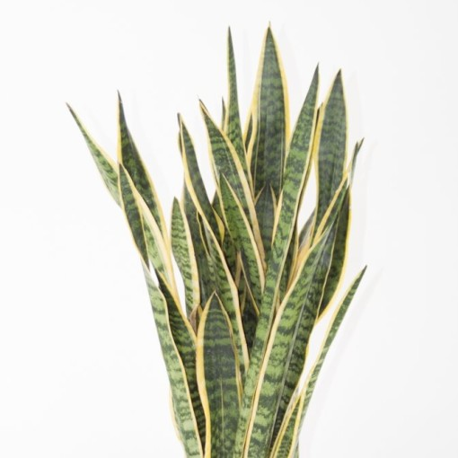 Sansevieria trifasciata 'Laurentii' (Ammerlaan, The Green Innovater)