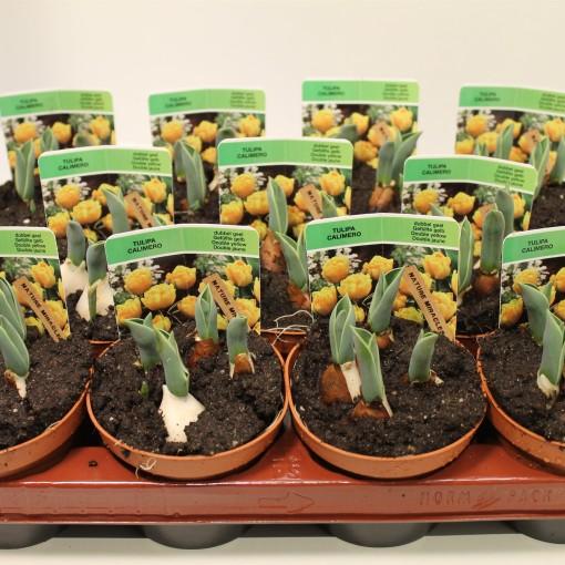 Tulipa 'Calimero' (Gebr. Straathof)
