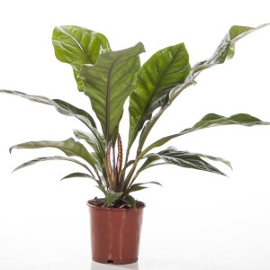 Anthurium ellipticum JUNGLE BUSH