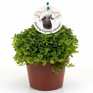 Leptinella dioica 'Minima'