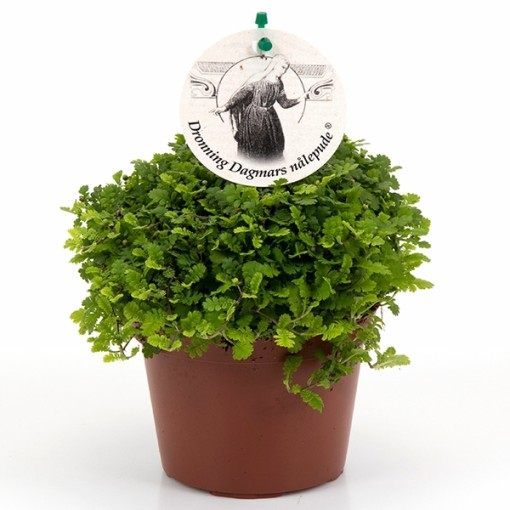 Leptinella dioica 'Minima' (Gasa DK)