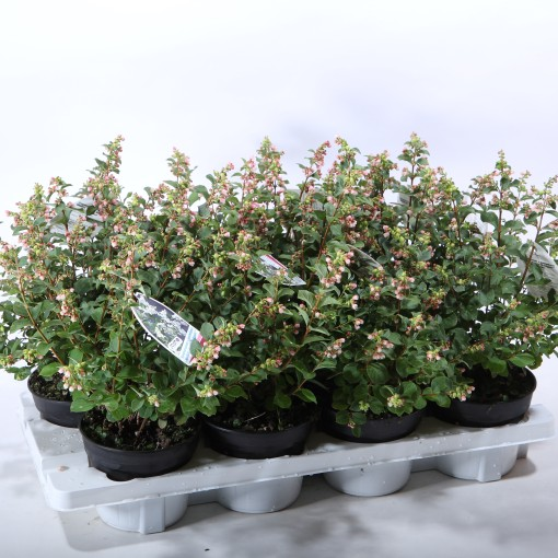 Symphoricarpos x doorenbosii (Experts in Green)