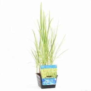 Glyceria maxima 'Variegata' (Moerings Waterplanten)